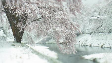 石川桜1.jpg