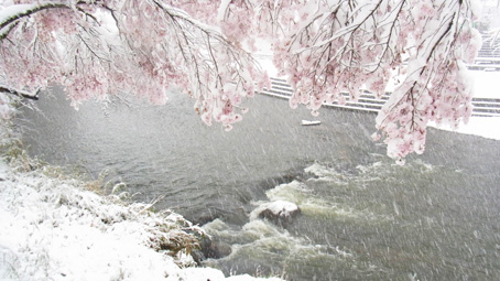 石川桜2.jpg