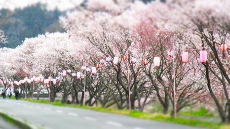 石川桜3.jpg