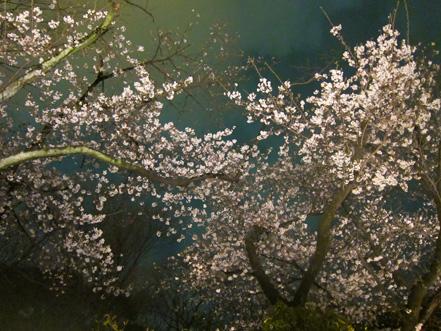 うかい桜.jpg