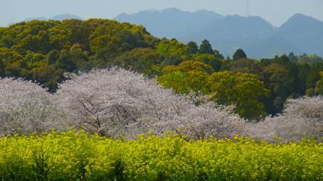 宮崎3桜.jpg
