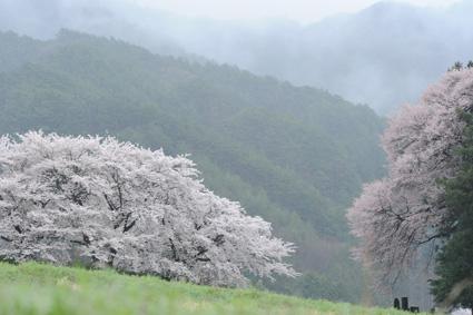 長野桜.jpg